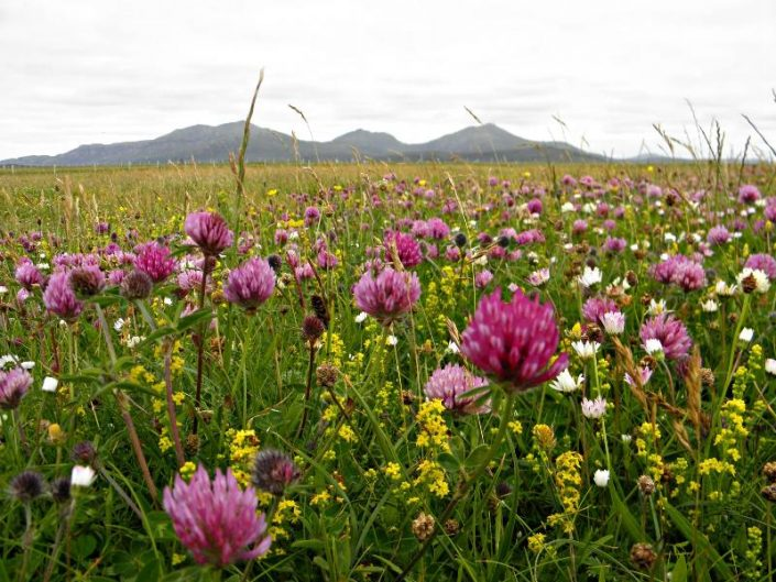 wild flowers in bloom, Uists